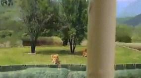 Sư tử bất ngờ nhảy qua hào sâu tấn công du khách