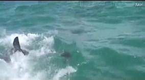 Cá mập trắng khổng lồ hung dữ đớp ngang người hải cẩu