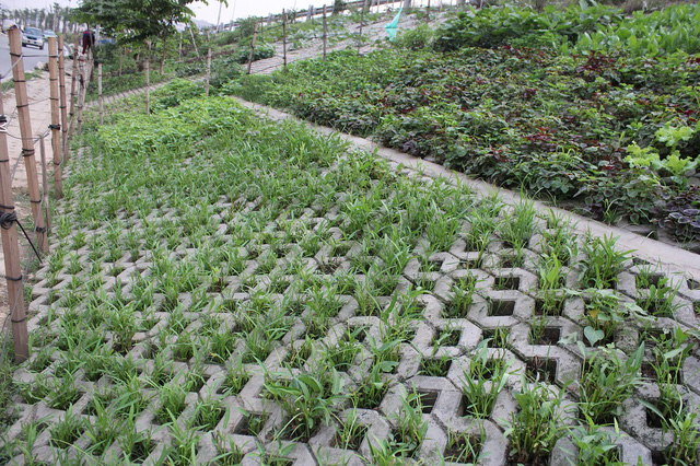 Rau được trồng chủ yếu là các loại rau ngắn ngày để nhanh thu hoạch