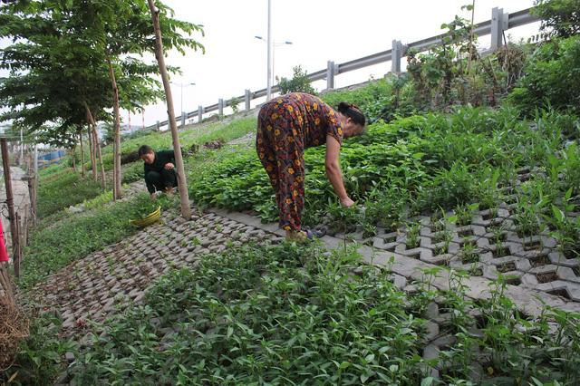 Vào mỗi buổi chiều cả con phố lại tấp nập, rộn ràng chăm sóc vườn rau