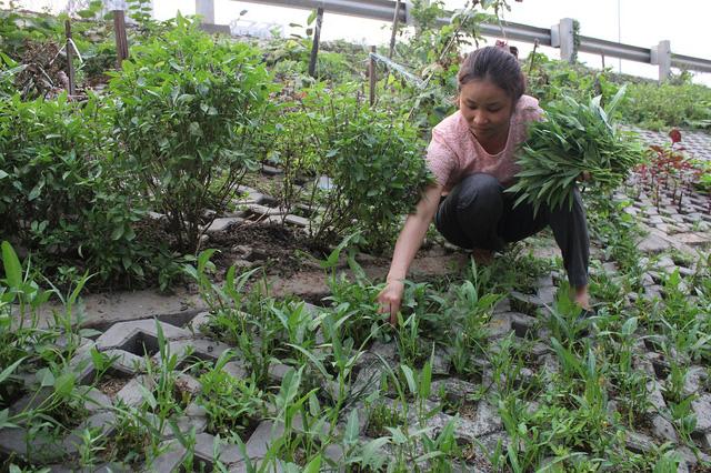 Vườn rau nhà chị Thúy rộng khoảng 60m2 chủ yếu được chị trồng các loại rau ngắn ngày