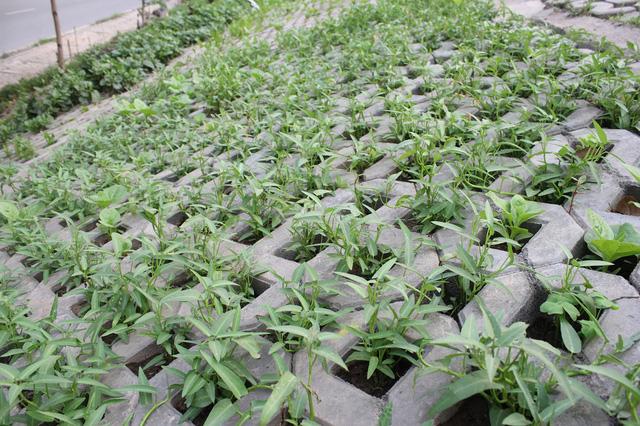 Mỗi hốc bê tông được người dân kỳ công đổ thêm đất, trồng rau