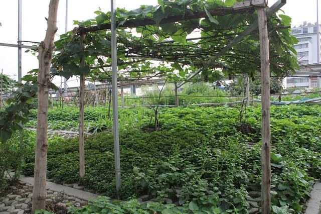 Một số hộ dân còn bắc giàn trồng các loại cây leo như: đỗ, su su, bí...