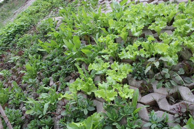 Các loại rau sống lên mơn mởn, xanh tươi