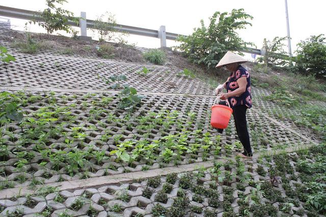 Vườn rau của bà Thúy rộng khoảng 50m2 trồng đủ loại
