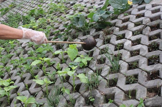 Các ngọn rau vươn lên tươi tốt trong các hốc bê tông