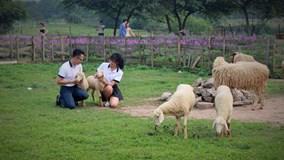 Cận cảnh cánh đồng hoa oải hương đầu tiên ở Hà Nội