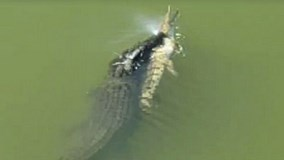 Cá sấu xúi quẩy, gặp phải đồng loại tàn ác giữa sông