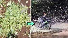 Phượt thủ thô bạo phi xe phân khối lớn xuyên qua đàn bươm bướm
