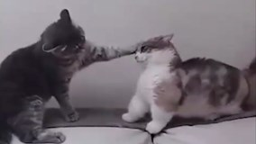 Chú mèo chân ngắn bị bạn bắt nạt hút gần 8 triệu lượt xem trên Facebook