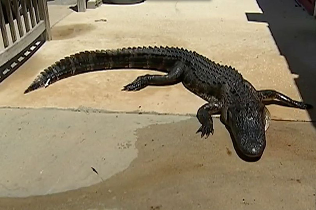 Cô bé dũng cảm tự cạy miệng cá sấu để thoát thân - Ảnh 1.