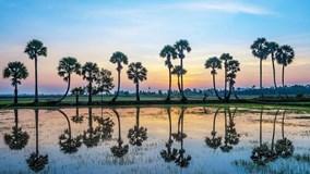 Bát ngát cánh đồng thốt nốt tại vùng đất Tịnh Biên, An Giang