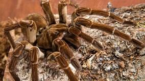 Màn thoát xác rợn người của nhện tarantula