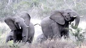 Gặp đối thủ tí hon, đàn voi châu Phi sợ hãi chạy tán loạn