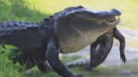 Cá sấu khổng lồ ăn thịt đồng loại ở Mỹ gây sốc