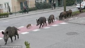 Lợn rừng tung tăng đi lại thành đàn trên phố ở Ba Lan