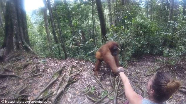 """Indonesia: Đười ươi giữ rịt tay cô gái, định """"bắt cóc"""" - 1"""