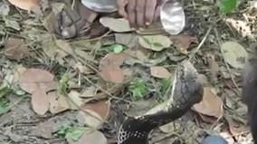 Ấn Độ: Liều mạng cho hổ mang chúa khổng lồ uống nước