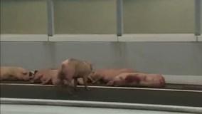 Lợn sổng chuồng gây đình trệ giao thông suốt 5 giờ trên đường cao tốc