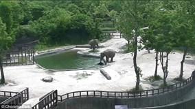 Hai voi hợp sức giải cứu voi con đuối nước