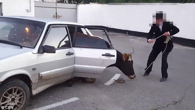 Nhóm trộm ăn cắp bò nặng 1 tấn rồi nhét luôn vào ghế sau ô tô - Ảnh 3.