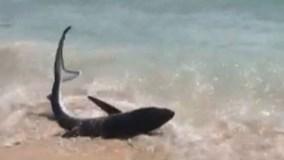 Cá mập giãy giụa trên bãi biển du lịch ở Địa Trung Hải