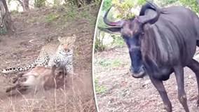 Báo đốm giết bê, bị bò mẹ đuổi chạy tít lên cây