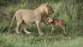 """Ngựa con nhận cái kết """"không tưởng"""" khi bị sư tử truy đuổi"""