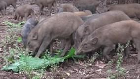 Độc đáo đàn lợn 'tên lửa' của thầy giáo biết nghe kẻng chạy về chuồng