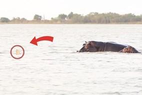 Cá mập ê chề sau khi hung hăng tấn công đàn hà mã