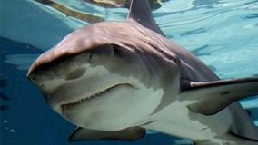 Cả gan tóm đuôi cá mập hổ và cái kết máu me