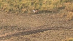 Bi thảm ngựa vằn vừa thoát cá sấu đã gặp nanh vuốt sư tử