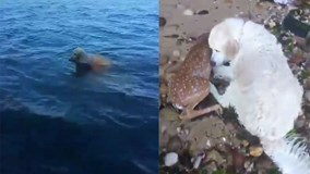 Chuyện lạ: Chú chó anh hùng cứu con nai bị đuối nước