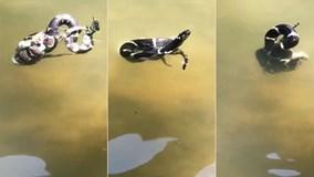 Xem rắn vua tử chiến rắn đuôi chuông dưới nước