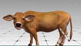 Phát hiện mới: Bò có thể giúp con người chữa HIV