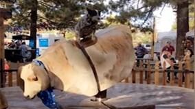 Chó cao bồi thể hiện kĩ năng cưỡi bò tót đáng kinh ngạc
