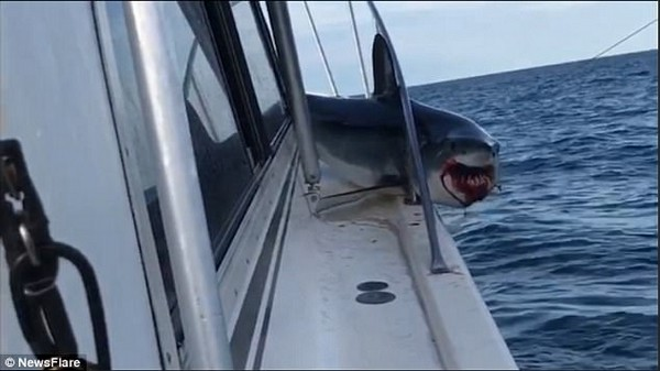 Con cá mập bị mắc kẹt trên thuyền và miệng bị chảy máu khi đang nỗ lực để tự giải thoát