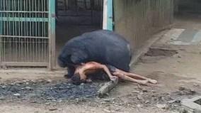 Đói ăn, gấu khổng lồ kéo người vào chuồng cắn xé