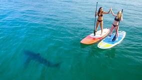 Hai người đẹp bikini lướt ván bị 5 cá mập trắng bủa vây