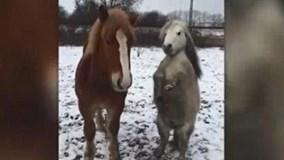 Chú ngựa chân ngắn siêu dễ thương gây sốt