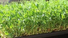 Kinh hoàng hạt giống trồng rau mầm tẩm hóa chất độc hại