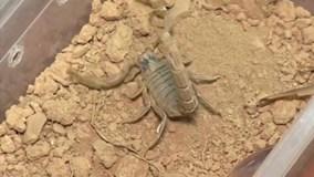 """Độc đáo chiếc máy vắt """"sữa"""" bọ cạp ở Morocco"""