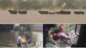 Muôn cảnh cứu người, cứu bò... giữa siêu bão Harvey
