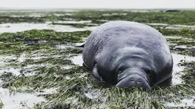 Bò biển mắc cạn do bão Irma 'hút' sạch nước biển