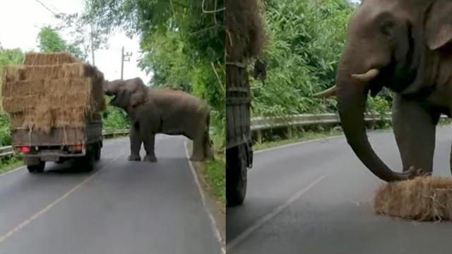 Con voi đực khéo léo dùng vòi lấy rơm từ xe tải của nhân viên vườn quốc gia