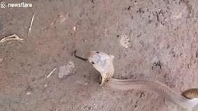 Kinh dị rắn hổ mang bị con rắn khác làm tổ trong mũi