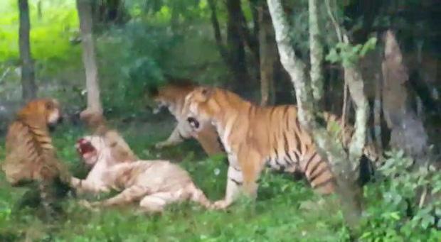 Chỉ vì phút bất cẩn của nhân viên sở thú, chú hổ trắng quý hiếm đã bị bầy mãnh hổ đoạt mạng - Ảnh 5.