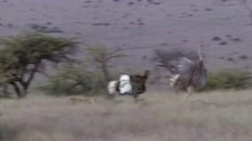 """Ba chú báo săn, 1 con đà điểu và kết cục khó tin với cả 2 bên """"tham chiến"""""""