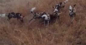 Báo đốm lao vào đoạt mồi của bầy chó hoang