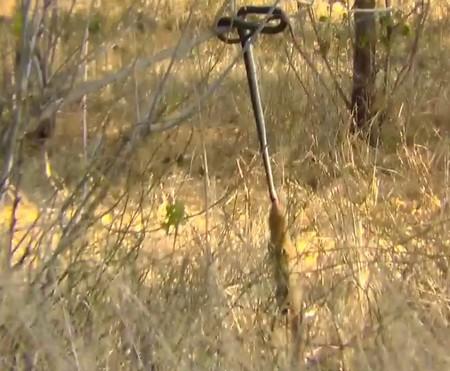 Con cầy Mangut đang cố gắng kéo con rắn đang bị mắc kẹt trên cây xuống để ăn thịt